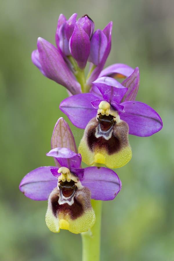 狂放的锯蝇兰花(Ophrys tenthredinifera)细节特写镜头, 免版税库存照片