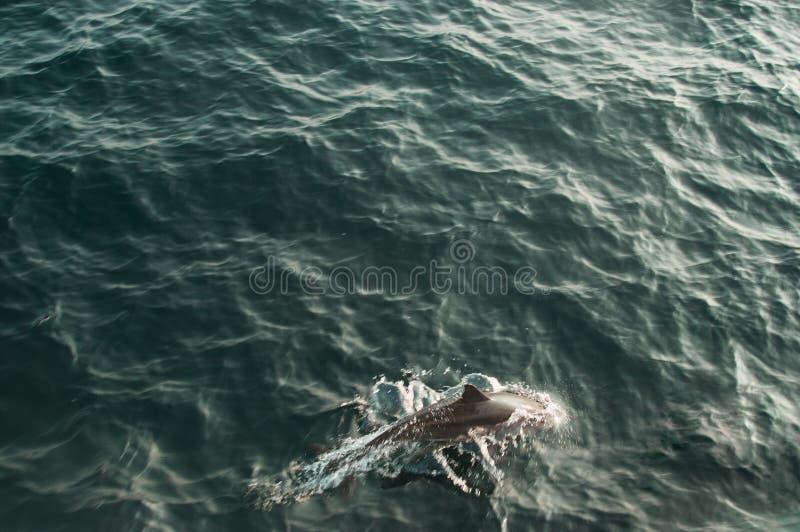 狂放的长装管嘴的海豚游泳在印度洋 野生生物自然背景 文本的空间 冒险旅游业 旅行游览 MI 免版税图库摄影