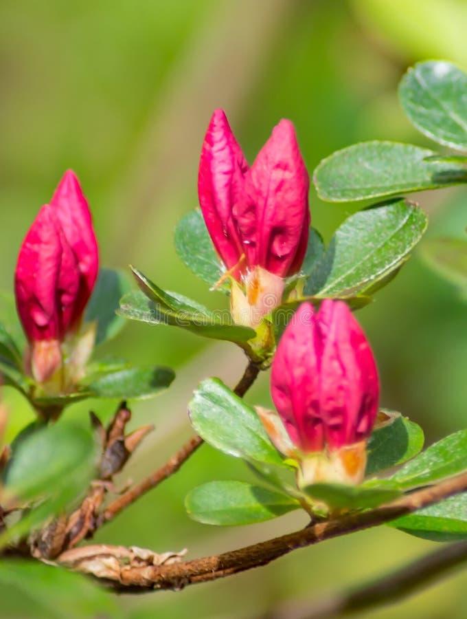 狂放的阿巴拉契亚山脉桃红色杜娟花芽特写镜头  库存图片
