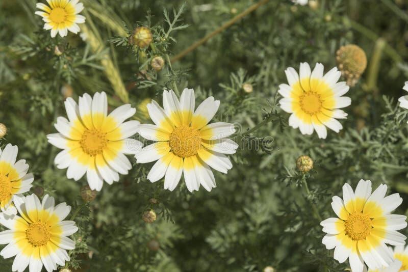 狂放的雏菊Ialysos海滩罗得岛 免版税图库摄影