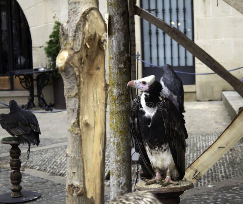 狂放的雕猎鹰训练术 免版税库存图片