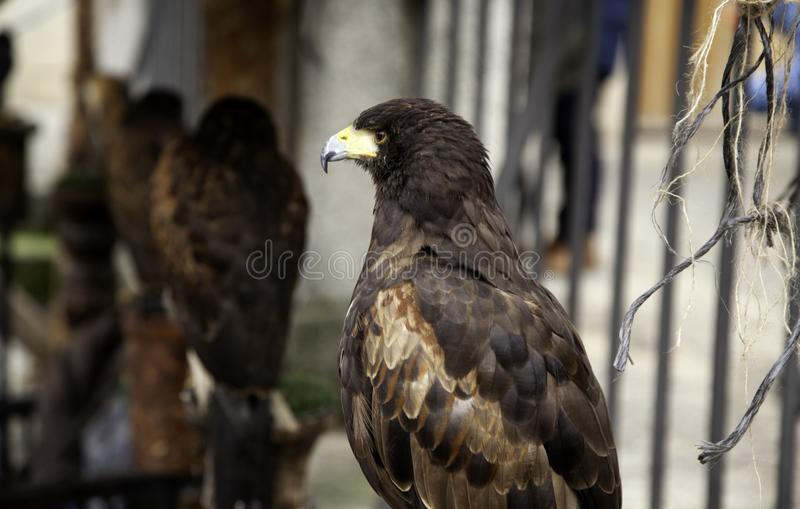 狂放的雕猎鹰训练术 免版税库存照片