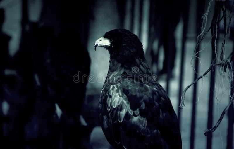 狂放的雕猎鹰训练术 库存照片