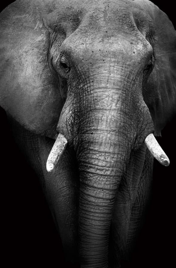 狂放的非洲大象(艺术性编辑) 库存图片