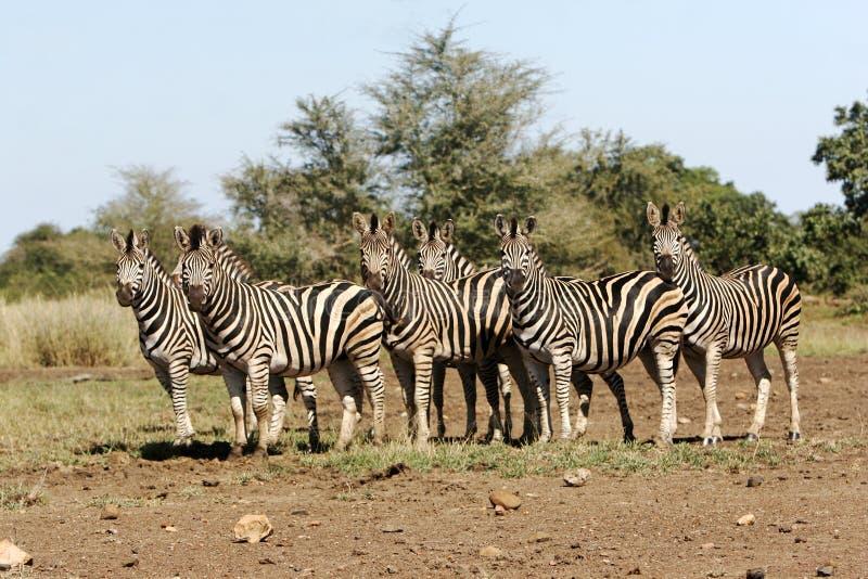 狂放的非洲斑马牧群 库存照片