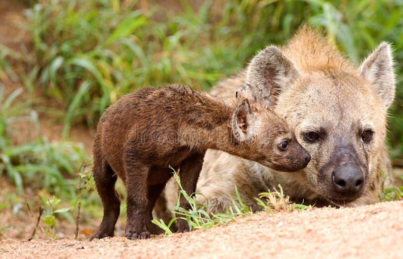 狂放的非洲hyaena 免版税库存照片