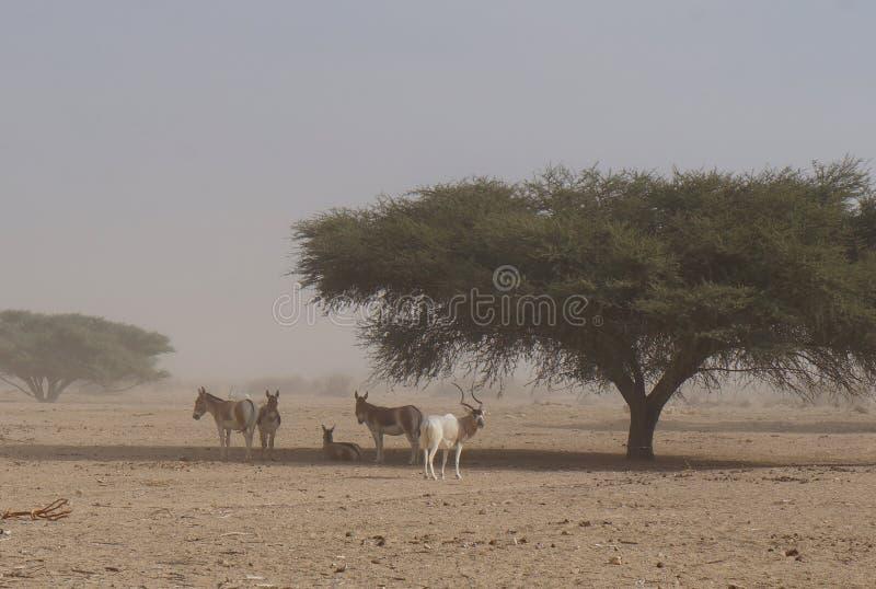 狂放的驴和羚羊曲角羚羊曲角羚羊nasomaculatus 免版税库存图片