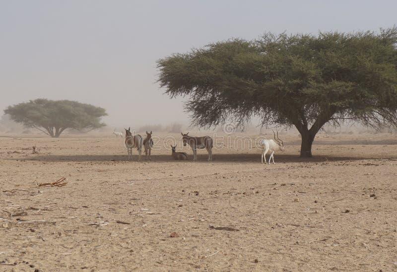 狂放的驴和羚羊曲角羚羊曲角羚羊nasomaculatus 库存图片