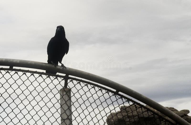 狂放的鸟乌鸦黑色,在石峰澳大利亚 图库摄影