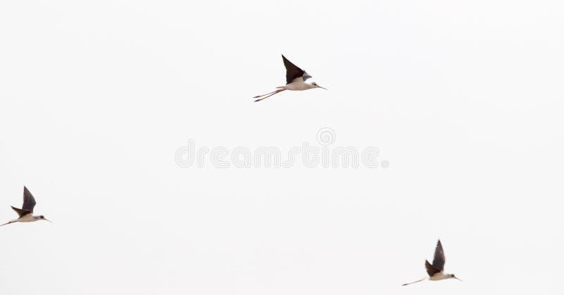 狂放的鸟或鹳飞行 库存照片