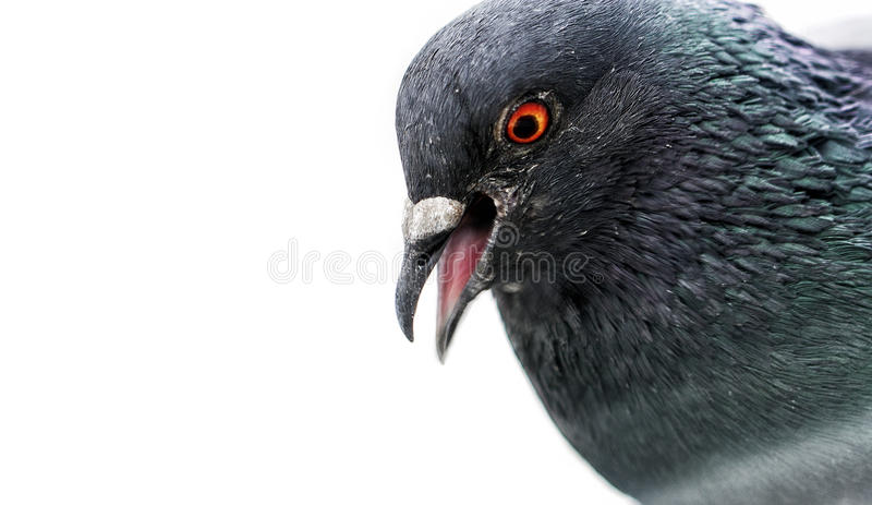 狂放的鸽子 库存照片