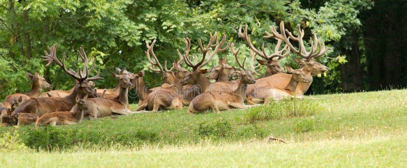 狂放的鹿小组 免版税库存图片