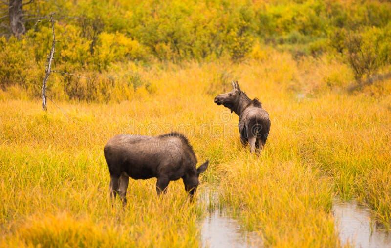 狂放的麋对动物野生生物沼泽阿拉斯加Turnagain胳膊 库存照片