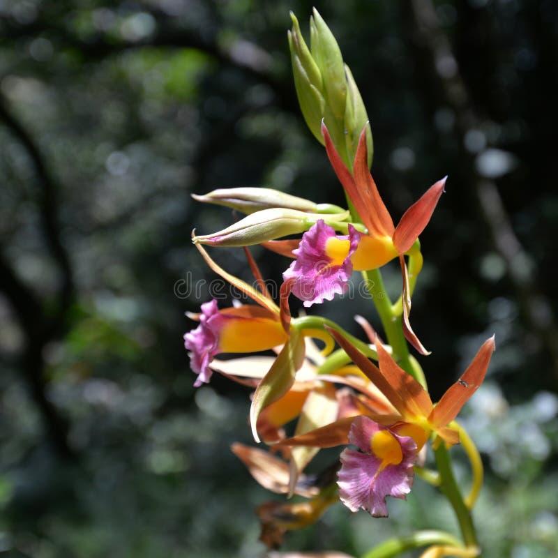 狂放的黄色和桃红色兰花花,斯里兰卡 库存图片