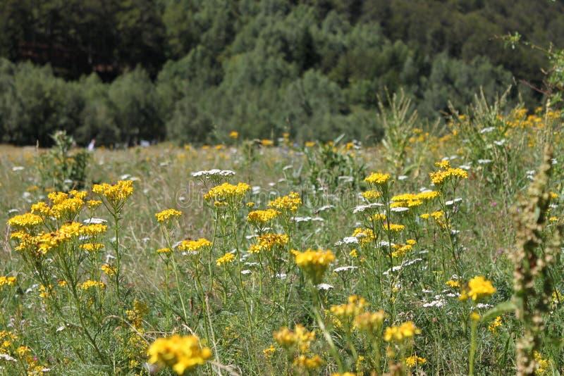 狂放的黄色花的领域 库存照片