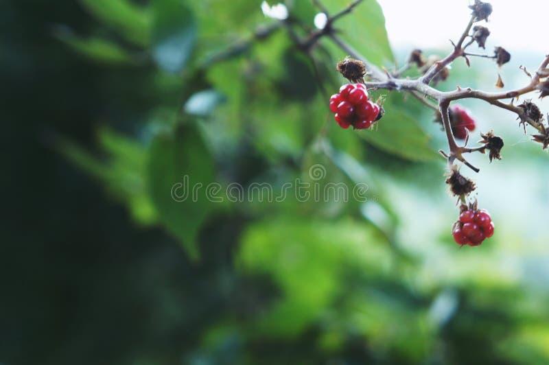 狂放的黑莓-意大利夏天 库存照片