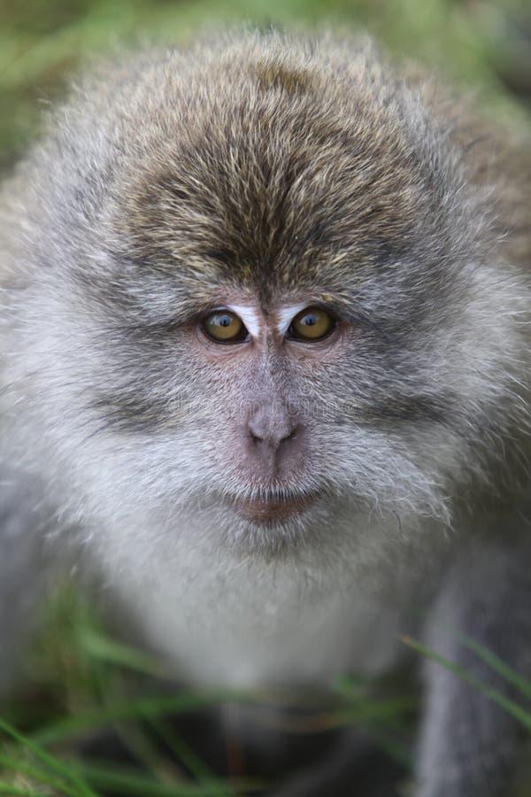 狂放的猴子画象 库存照片
