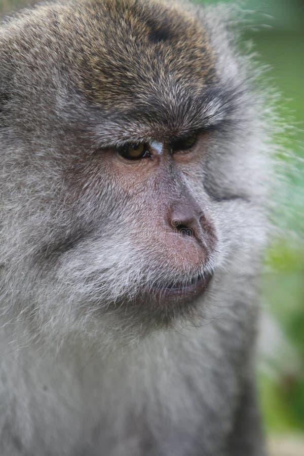 狂放的猴子画象 库存图片