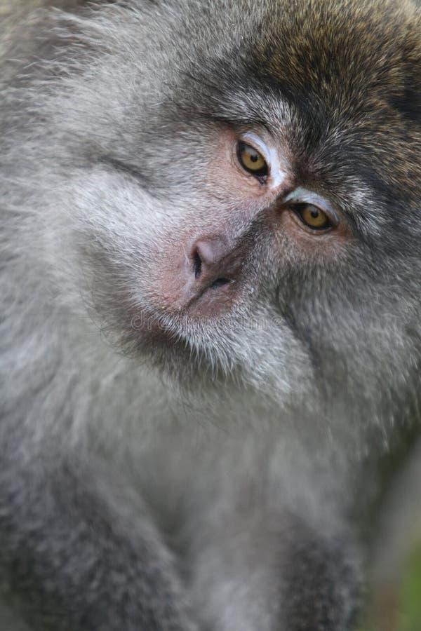 狂放的猴子画象 免版税库存图片