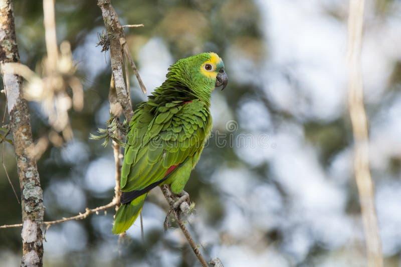 狂放的绿松石(蓝色)朝向与被翻动的羽毛的亚马逊鹦鹉 免版税图库摄影