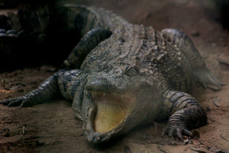 狂放的Aligator 库存照片