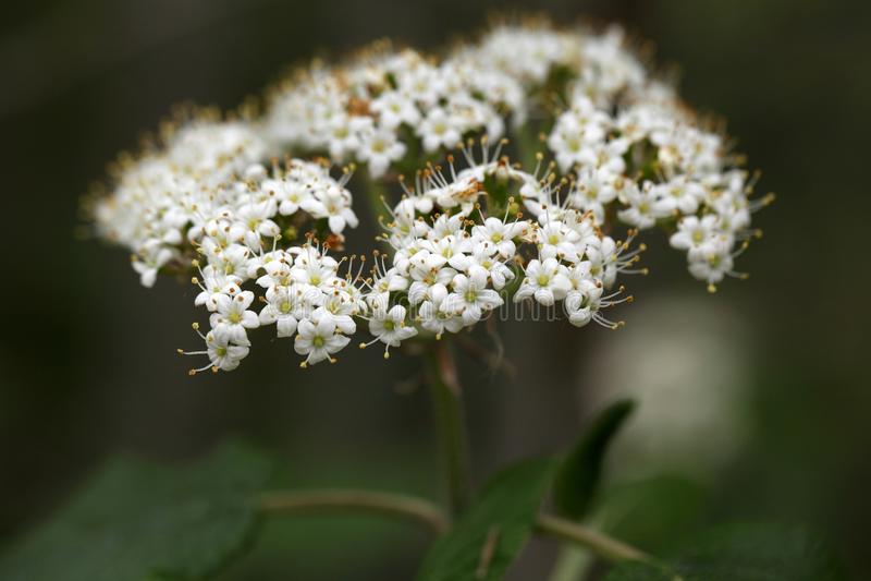 Download 狂放的Guelder罗斯的花 库存照片. 图片 包括有 春天, beauvoir, 夏天, 农场, 种田 - 72371158
