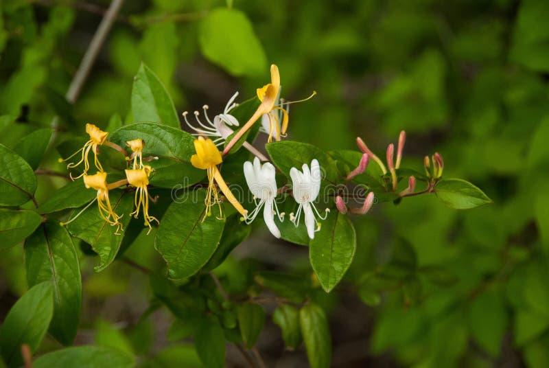 狂放的Honeysuckel、金子、白色和紫色芽 免版税库存照片