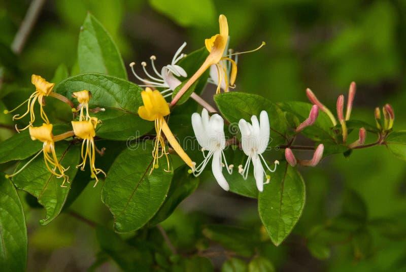 狂放的Honeysuckel、金子、白色和紫色芽 免版税图库摄影