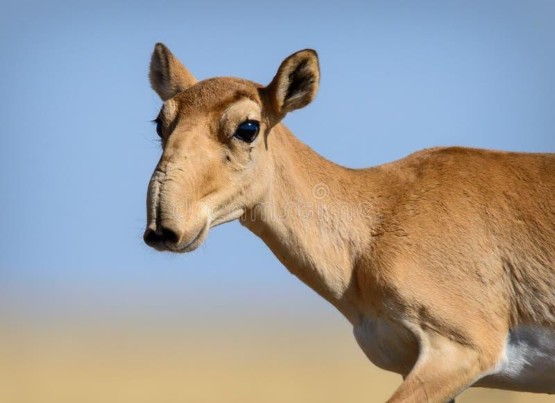 狂放的saiga羚羊saiga tatarica 库存图片