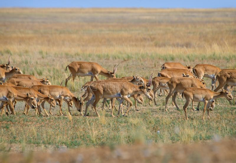 狂放的saiga羚羊saiga tatarica 免版税图库摄影