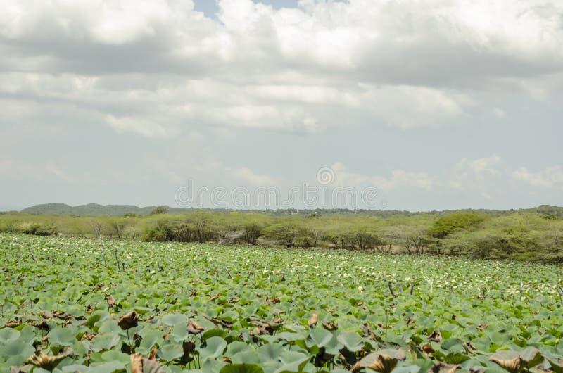 狂放的Waterlily风景  免版税图库摄影
