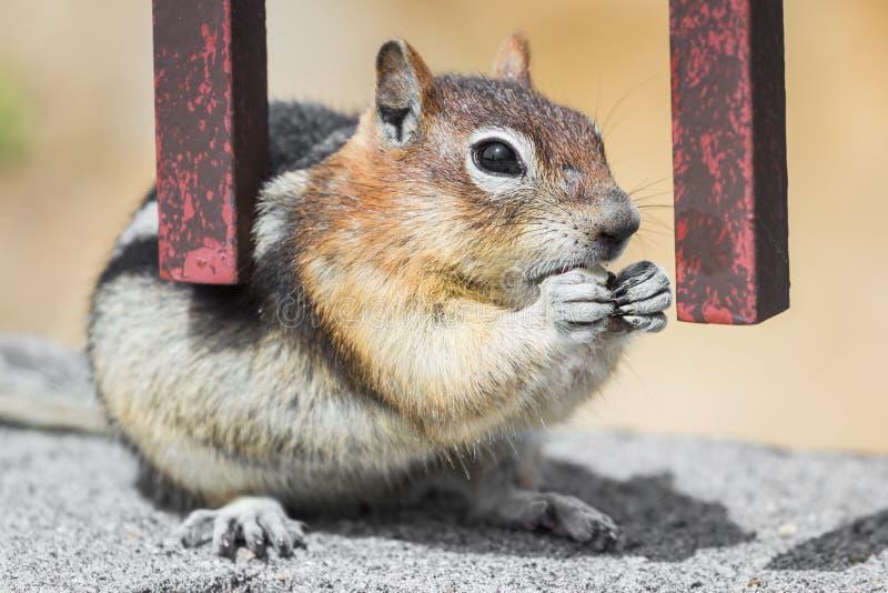 狂放花栗鼠哺养 免版税库存图片
