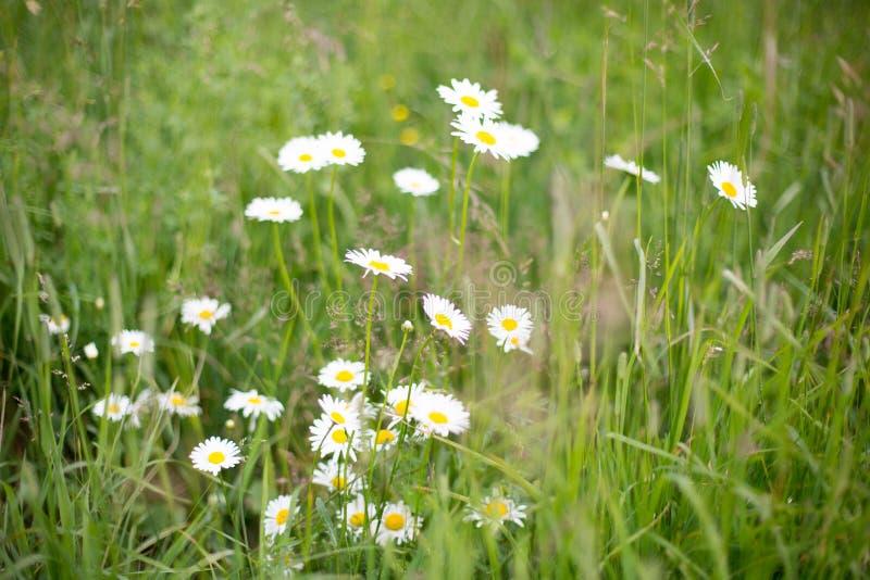 狂放雏菊花卉生长在绿色领域,可爱的春黄菊的图象 免版税库存照片