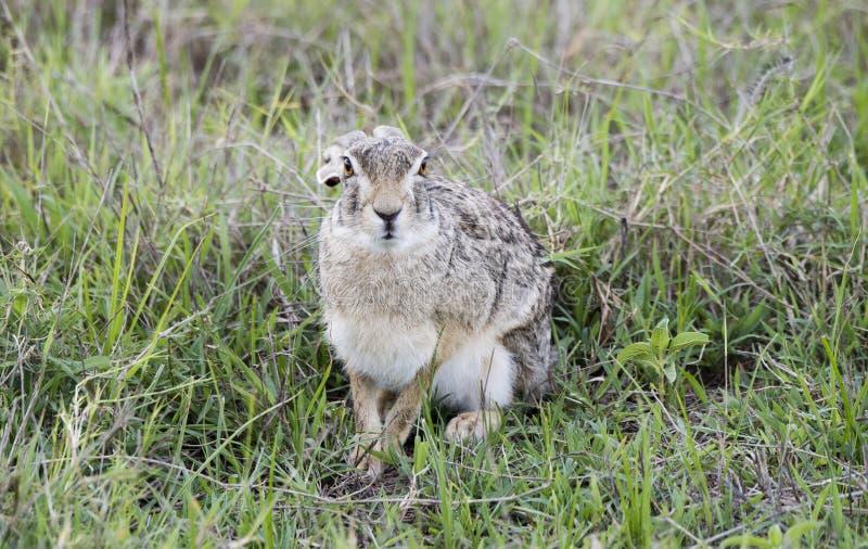 狂放洗刷野兔坐在草的天兔座saxatilis 库存图片