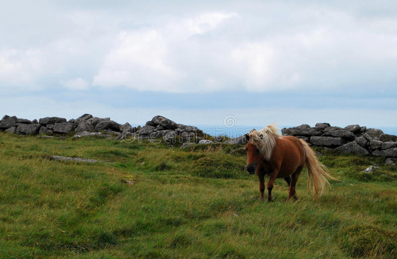 狂放ponny在Dartmoor国家公园 免版税库存照片