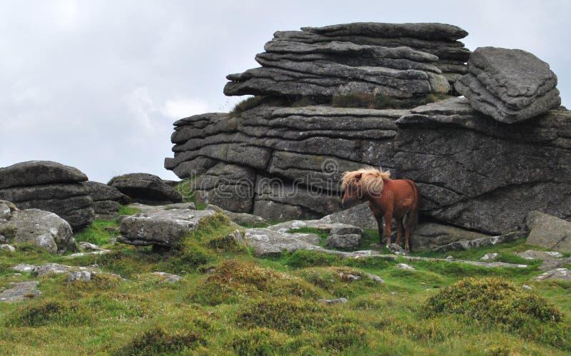 狂放ponny在Dartmoor国家公园 库存照片
