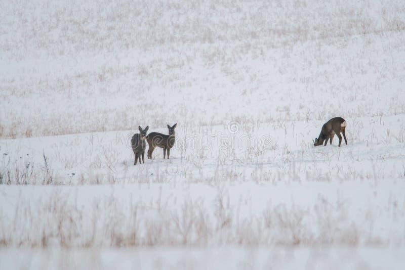狍在冬天草甸 免版税库存照片