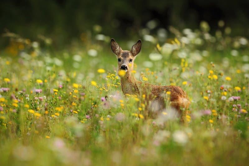 狍,狍属狍属,嚼绿色叶子,美丽的开花的草甸有许多白色和黄色花和动物的 库存照片