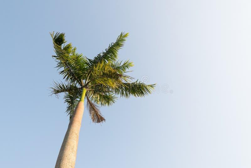 狐尾在风的棕榈树与蓝天 图库摄影