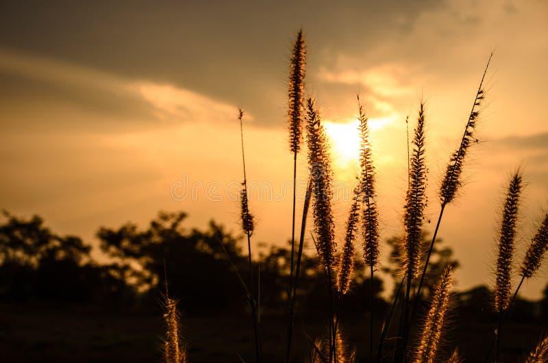 Download 狐尾杂草在晚上 库存图片. 图片 包括有 威严的, 相当, 和平, 晒裂, 夜间, beautifuler - 30325523