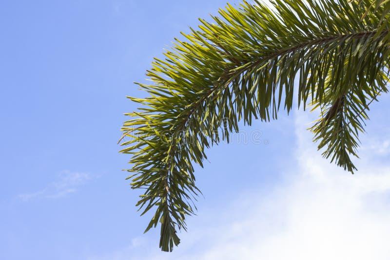 狐尾棕榈分支有阳光的在天空背景 库存照片