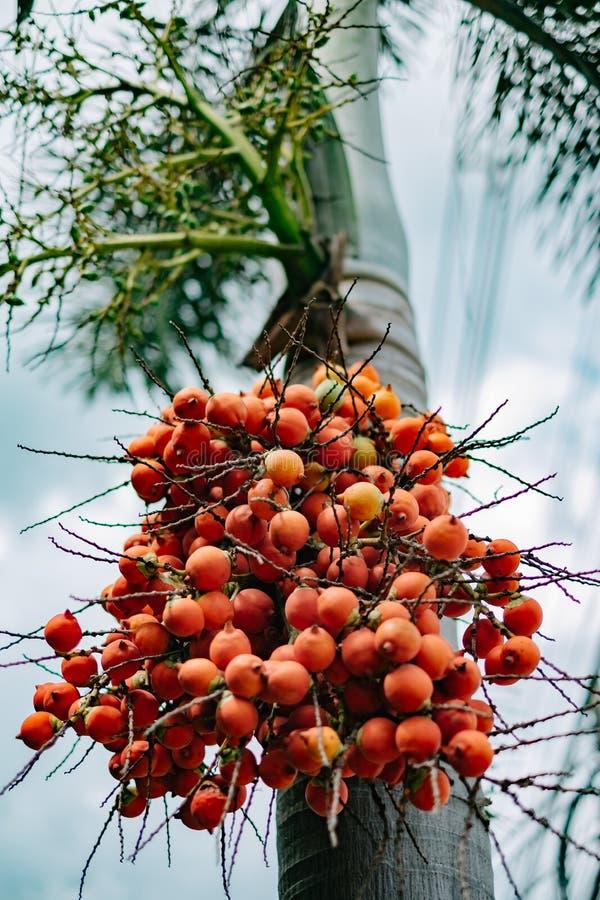 狐尾棕榈树 免版税库存照片
