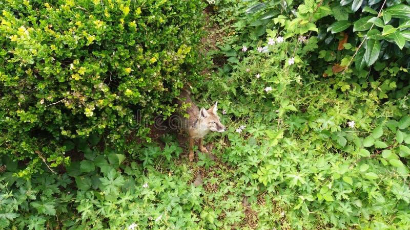 狐狸从有些灌木出来 免版税库存照片