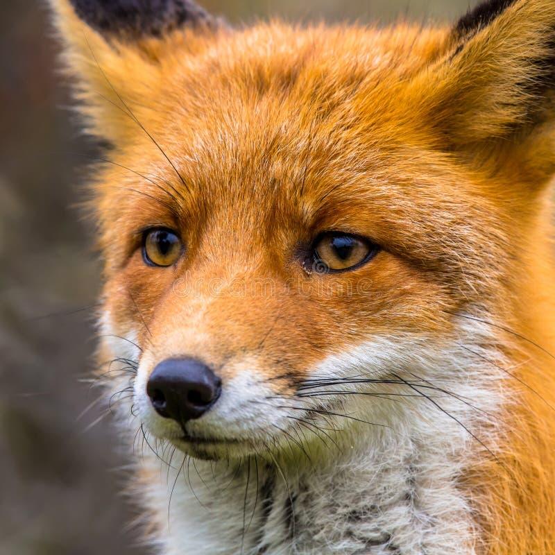 狐狸关闭头  库存照片