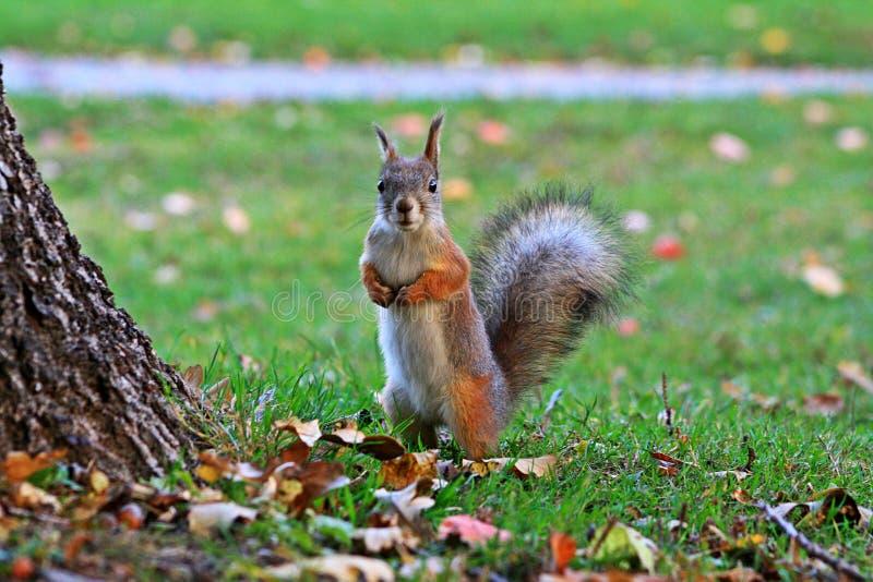 狐狸松鼠在有滑稽和好奇神色的一个公园 免版税库存照片