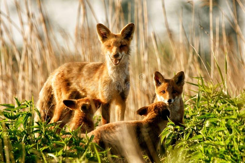 狐狸淡水鳔形鱼 库存照片
