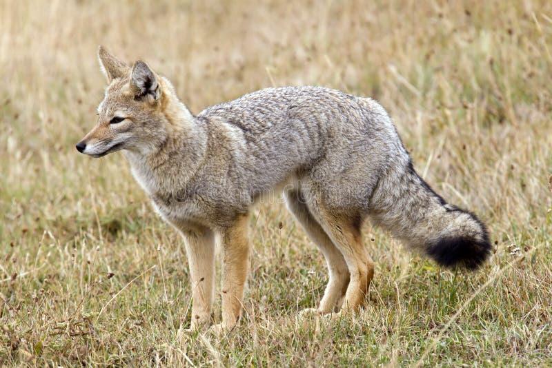 狐狸灰色 免版税库存图片