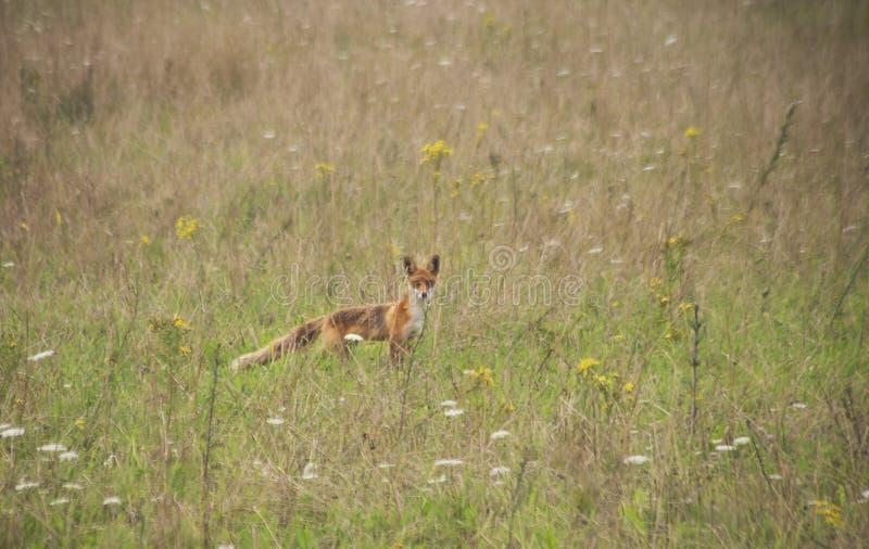 狐狸狐狸年轻人 库存图片