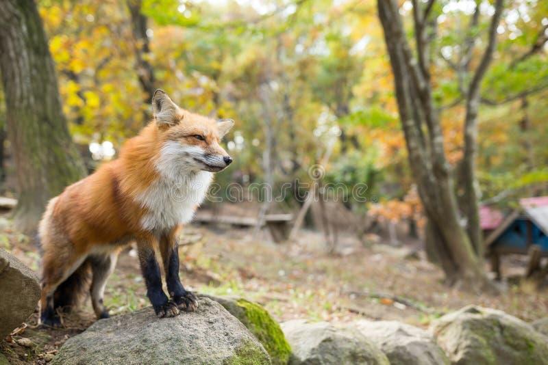 狐狸狐狸 库存图片