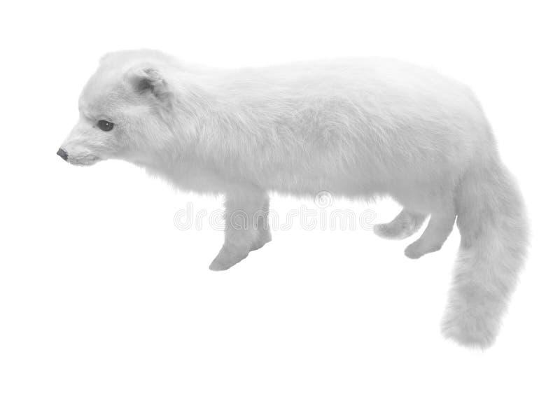 狐狸白色 库存照片